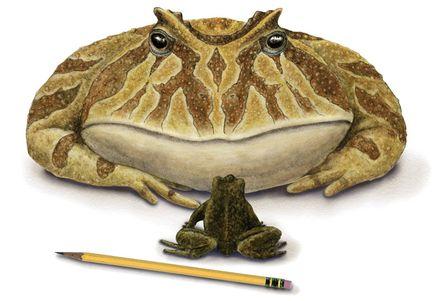 huge frog